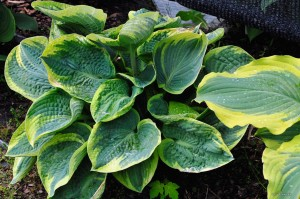 "Hosta ""Sugar Daddy"" - funkia"