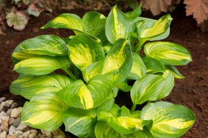 "Hosta ""Emerald Charger"" - funkia"