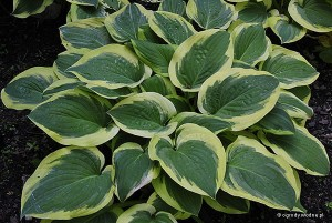 "Hosta ""Columbus Circle"" - funkia"