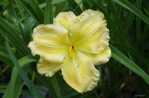 "Hemerocallis ""Brilliant Forecast"" - liliowiec"