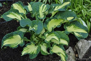 "Hosta ""Golden Meadows"" - funkia"
