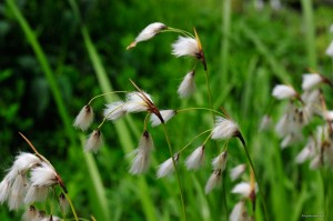 Eriophorum species - wełnianka