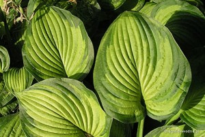 "Hosta ""Lunar Orbit"" - funkia"