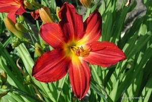 "Hemerocallis ""Pillar of Fire"" - liliowiec"