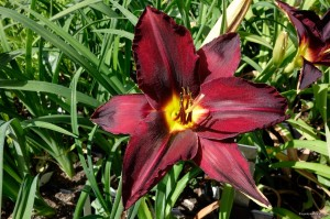 "Hemerocallis ""Dancing in the Rain"" - liliowiec"
