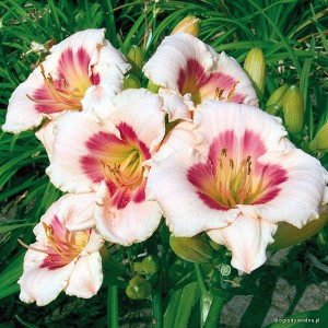 "Hemerocallis ""Blush' Pink Eye"" - liliowiec"