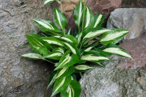 "Hosta ""Dixie Chickadee"" - funkia"