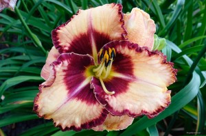 "Hemerocallis ""Lies and Lipstick"" - liliowiec"