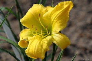 "Hemerocallis ""Big Bird"" - liliowiec"