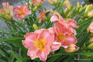 "Hemerocallis ""Heavenly Pink Fang"" - liliowiec"