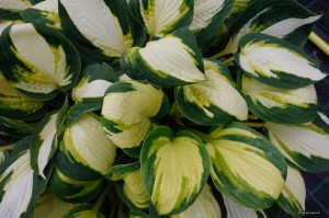 "Hosta ""Color Festival"" - funkia"