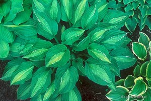 "Hosta ""Striptease"" - funkia"