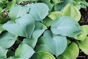 "Hosta ""Blue Umbrellas"" - funkia"