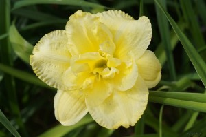"Hemerocallis ""Cabbage Flower"" - liliowiec"