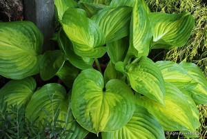 "Hosta ""Dance With Me"" - funkia"