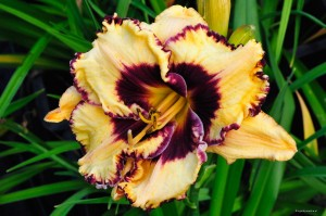 "Hemerocallis ""Ageless Beauty"" - liliowiec"