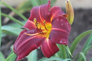 "Hemerocallis ""Dragon Lore"" - liliowiec"