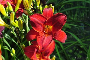 "Hemerocallis ""James Marsh"" - liliowiec"