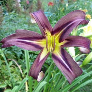 "Hemerocallis ""Black Arrowhead"" - liliowiec"