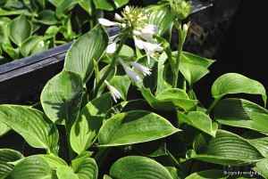 "Hosta ""Cool Hand Luke"" - funkia"
