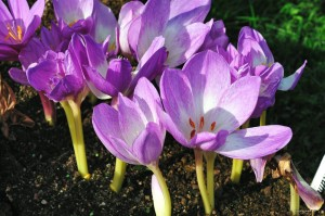 "Colchicum ""Autumn Queen"" - zimowit"