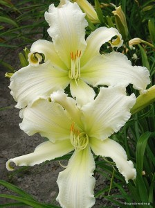 "Hemerocallis ""Heavenly Angel Ice"" - liliowiec"