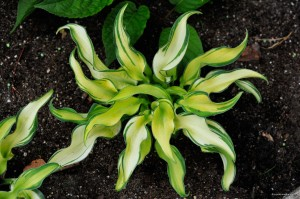 "Hosta ""Ripple Effect"" - funkia"
