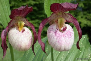 "Cypripedium ""Gisela"" - obuwik"