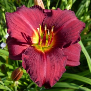 "Hemerocallis ""Little Business"" - liliowiec"