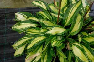 "Hosta ""Raibow's End"" - funkia"
