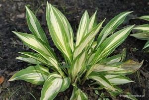 "Hosta ""Cherry Berry"" - funkia"