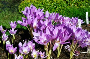 "Colchicum ""The Giant"" - zimowit"