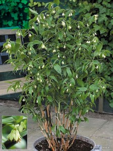 "Disporum cantoniense ""Green Giant"" - parnik"