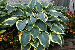 "Hosta ""Valley's Glacier"" - funkia"