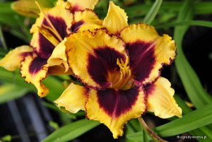 "Hemerocallis ""Eye on America""- liliowiec"