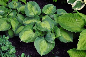 "Hosta ""Beyond Glory"" - funkia"