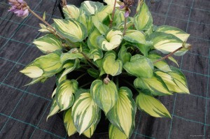 "Hosta ""Dinner Mint"" - funkia"