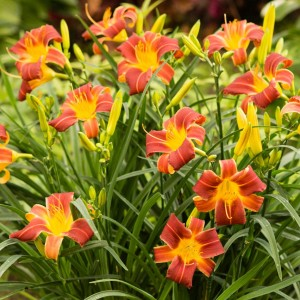 "Hemerocallis ""EveryDaylily Red Rib"" - liliowiec"