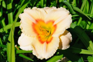 "Hemerocallis ""Siloam Ethel Smith"" - liliowiec"