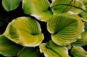 "Hosta ""Winter Snow"" - funkia"