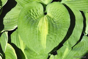 "Hosta ""Saint Paul"" - funkia"