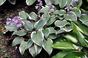"Hosta ""First Frost"" - funkia"