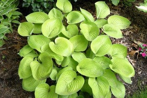 "Hosta ""Glad Tidings"" - funkia"