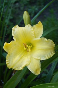 "Hemerocallis ""Big Yellow Taxi"" - liliowiec"