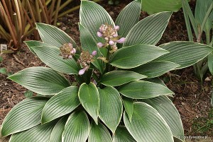 "Hosta ""Silver Shadow"" - funkia"