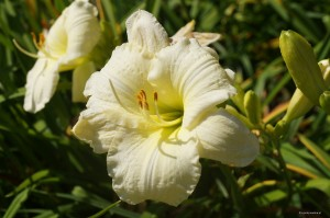 "Hemerocallis ""Joan Senior"" - liliowiec"