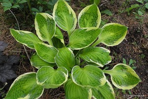 "Hosta ""Captain's Adventure"" - funkia"