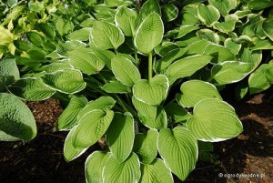 "Hosta ""Crowned Imperial"" - funkia"