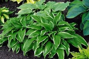 "Hosta ""Dragon Warrior"" - funkia"
