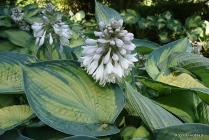 "Hosta ""Bright Lights"" - funkia"